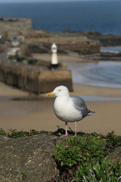 St Ives Photograph - European Herring Gull Larus Argentatus by Anthony Collins