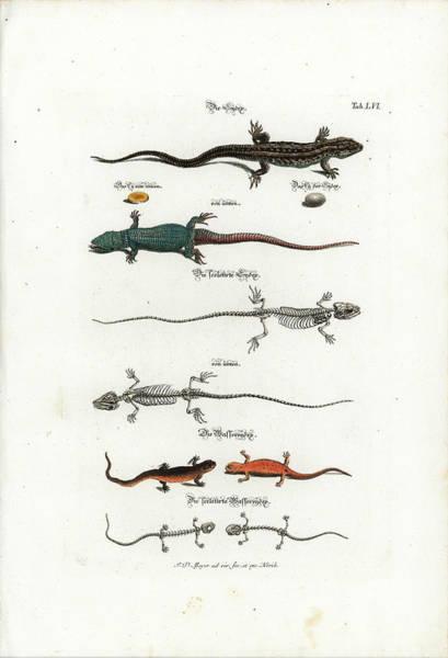 Drawing - European Lizards And Newts by Johann Daniel Meyer