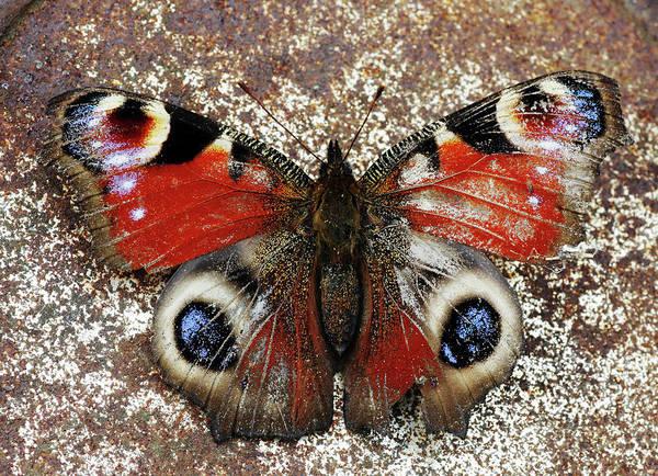Butterfly Photograph - European Peacock Butterfly by Marcel Ter Bekke