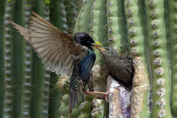 Photograph - European Starling Feeding Juvenile 9170-050219 by Tam Ryan