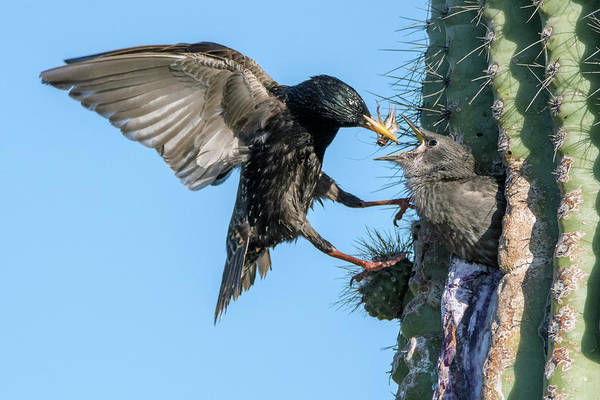 Photograph - European Starling Feeding Juvenile 9272-050319 by Tam Ryan