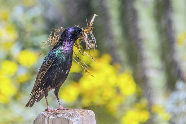 Photograph - European Starling With Nesting Material 7094-041419 by Tam Ryan