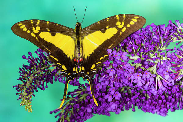 Wall Art - Photograph - Eurytides Thyastes On Purple Butterfly by Darrell Gulin