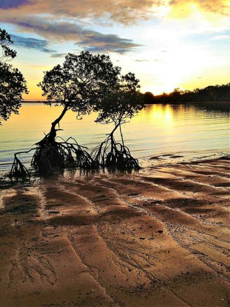 Photograph - Evans Landing Sunset Mangroves by Joan Stratton