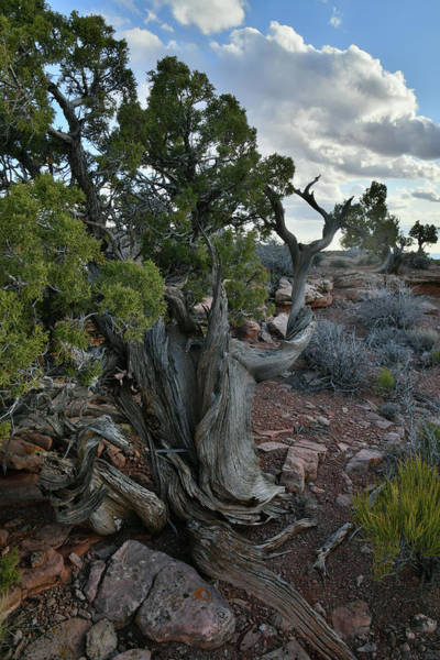 Photograph - Evening Clouds Over Canyonlands Juniper by Ray Mathis