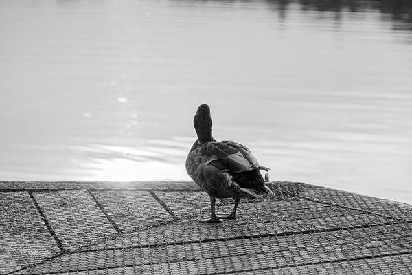 Photograph - Evening Duck In Black And White by Scott Lyons