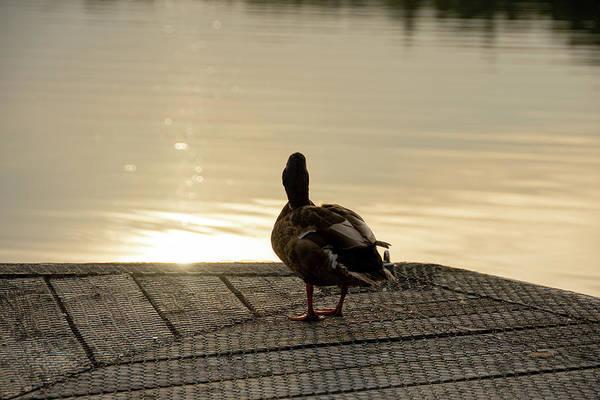 Photograph - Evening Duck by Scott Lyons