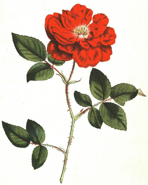 Wall Art - Painting - Ever Flowering Rose, Rosa Semperflorens by English School