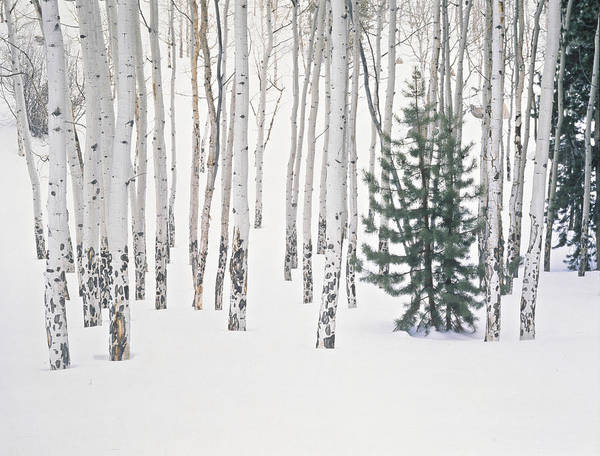 Cold Day Photograph - Evergreen & Aspen Trees In Snow H by John Kieffer