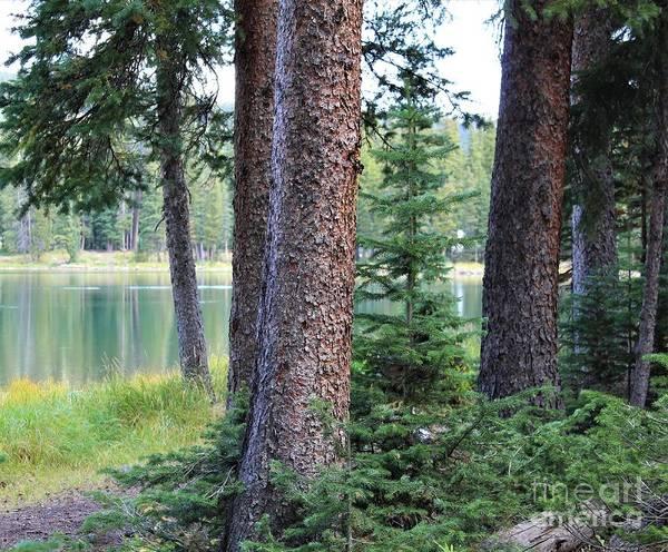 Photograph - Evergreen Forest by Tammie J Jordan