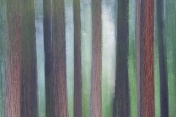 Wall Art - Photograph - Evergreen Trees Foggy Morning Yosemite by Darrell Gulin