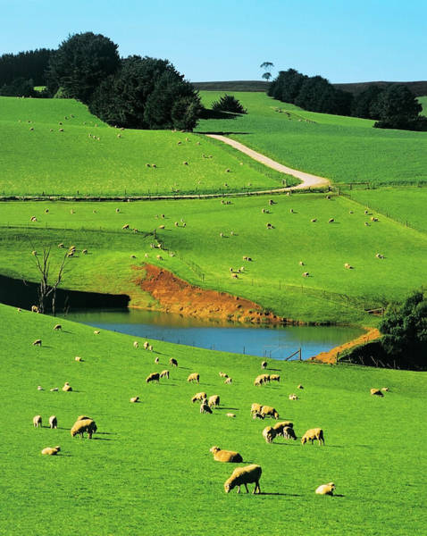 Ewe Photograph - Ewes And Lambs Grazing At Thorpdale by Australian Scenics