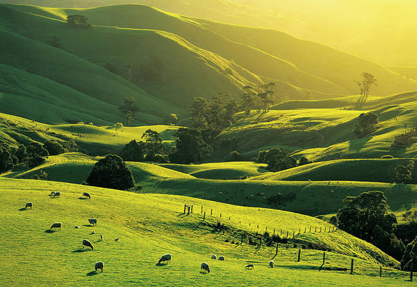 Grazing Photograph - Ewes And Lambs Grazing At Trida by Australian Scenics