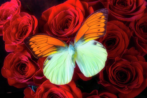 Photograph - Exotic Butterfly On Red Roses by Garry Gay