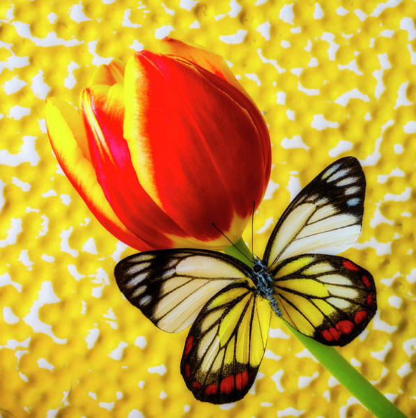 Photograph - Exotic Butterfly On Red Yellow Tulip by Garry Gay