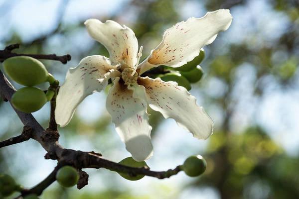 Photograph - Exotic Flower - Blooming Silk Floss Tree Ceiba Speciosa by Georgia Mizuleva
