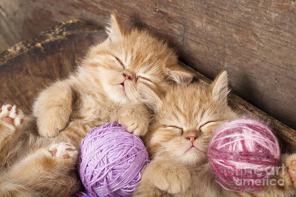 Wall Art - Photograph - Exotic Kittens   Sleeping With A Ball by Liliya Kulianionak