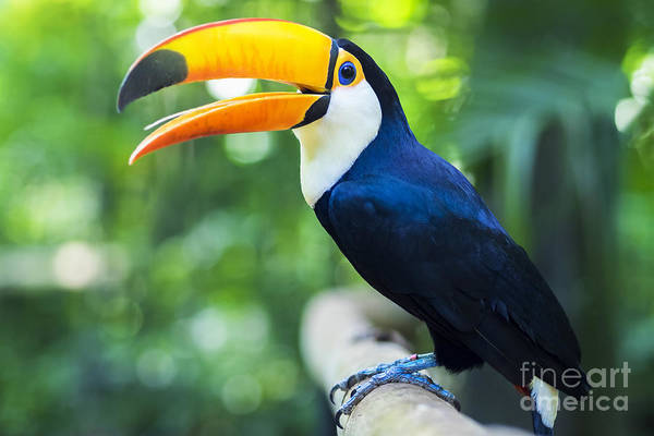 Forest Bird Photograph - Exotic Toucan Bird In Natural Setting by R.m. Nunes