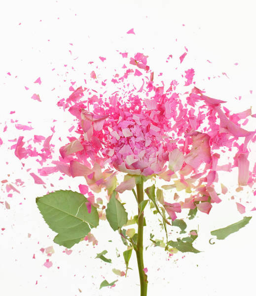 Motion Photograph - Exploding Pink Rose by Don Farrall