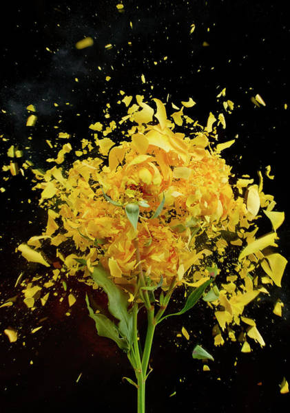 Break Up Photograph - Exploding Yellow Roses by Don Farrall