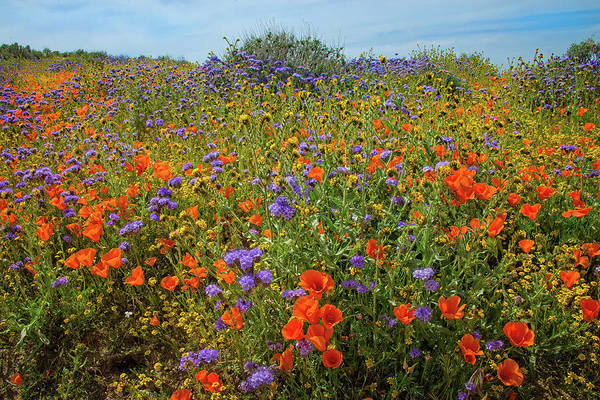 Photograph - Explosion Of Color - Superbloom 2019 by Lynn Bauer