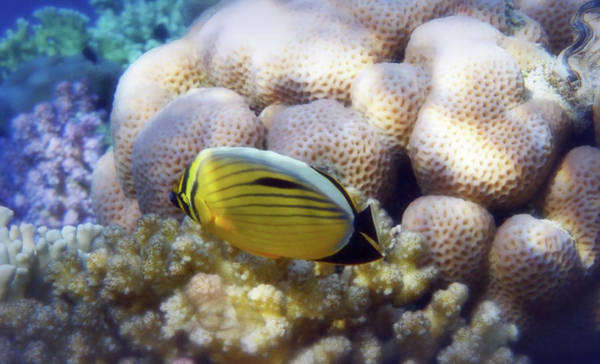 Wall Art - Photograph - Exquisite Butterflyfish Closeup In The Red Sea by Johanna Hurmerinta