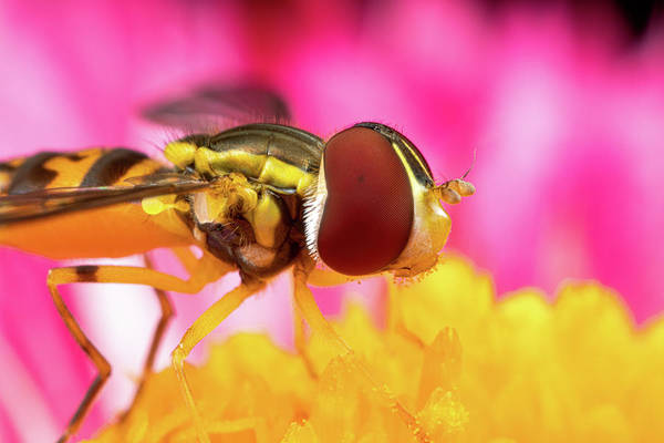 Photograph - Extreme Hoverfly by Brian Hale