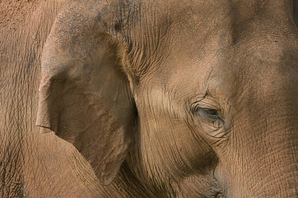 Wall Art - Photograph - Eye And Ear Of Asiatic Elephant by David Hosking