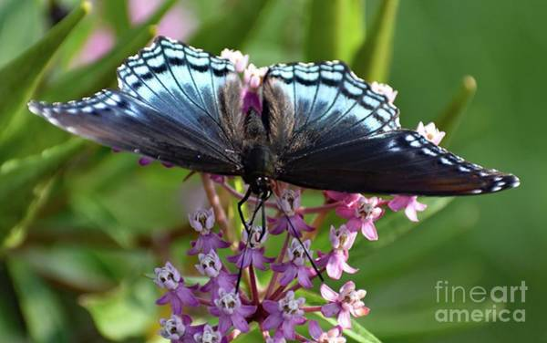 Dwayne Johnson Wall Art - Photograph - Eye Level With A Red-spotted Purple by Cindy Treger