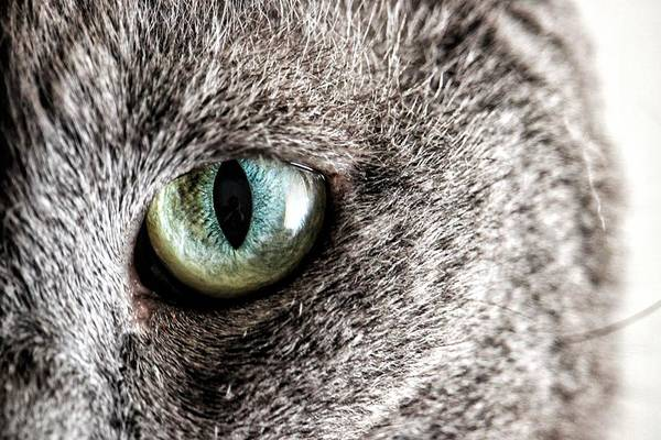 Carthusian Photograph - Eye Of Cat by Francesca Buricca