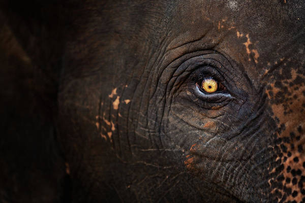 Curiosity Photograph - Eye Of Thai Elephant by Presented By Zolashine
