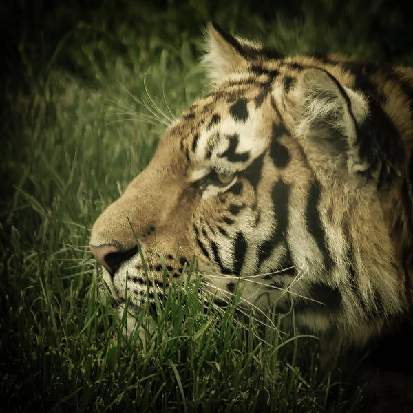 Photograph - Eye Of The Tiger by Chris Boulton