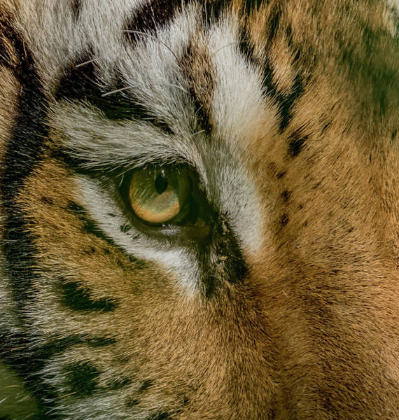 Wall Art - Photograph - Eye Of The Tiger by Joel Cook