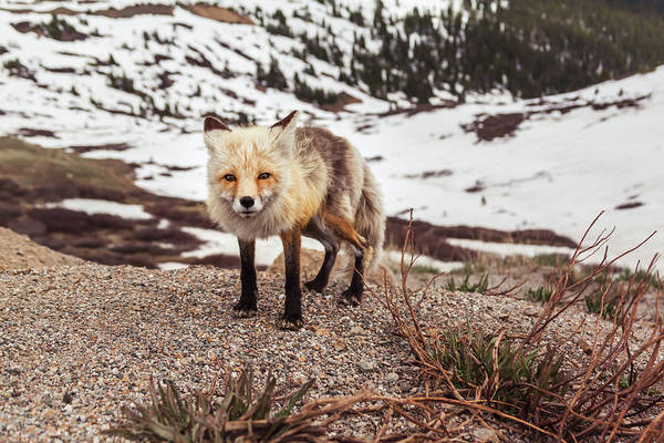 Photograph - Eye To Eye With A Fox At Loveland Pass by Jeanette Fellows