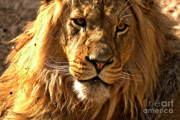 Photograph - Eyes Of The Lion by Adam Jewell