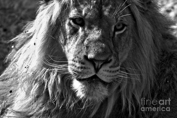 Photograph - Eyes Of The Lion Black And White by Adam Jewell