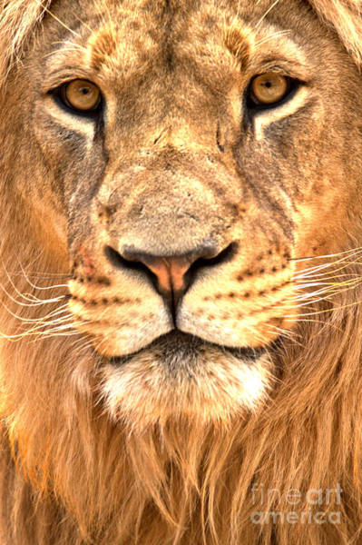 Photograph - Eyes Of The Lion Portrait by Adam Jewell