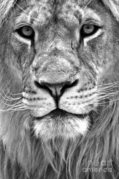 Photograph - Eyes Of The Lion Portrait Black And White by Adam Jewell