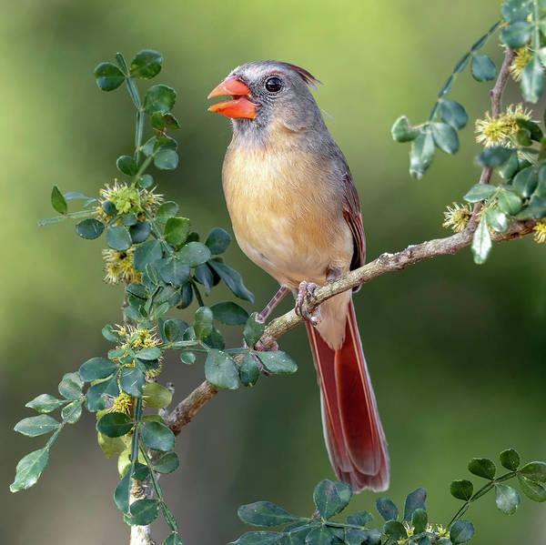 Photograph - Fabulous Female Cardinal by Scott Bourne