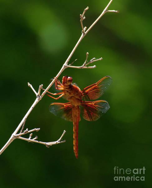 Wall Art - Photograph - Fabulous Flame Skimmer by Ruth Jolly