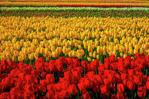 Wall Art - Photograph - Fabulous Tulip Fields by Garry Gay