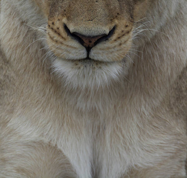 Photograph - Face Of A Lioness - A Close Up View by Mark Hunter