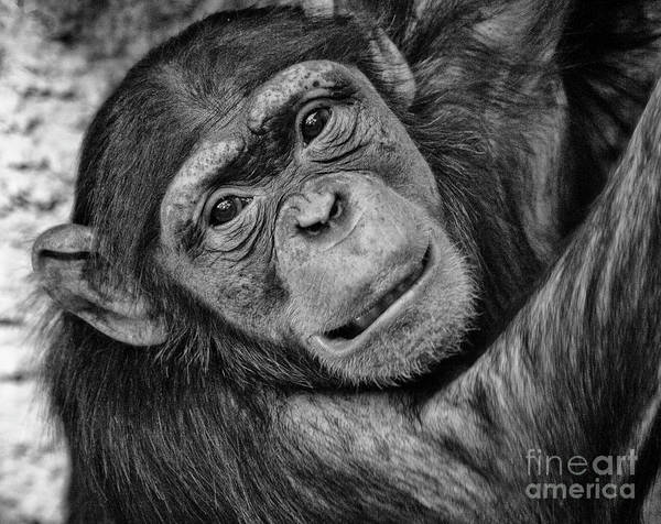 Wall Art - Photograph - Face Of A Young Chimpanzee by Ruth Jolly