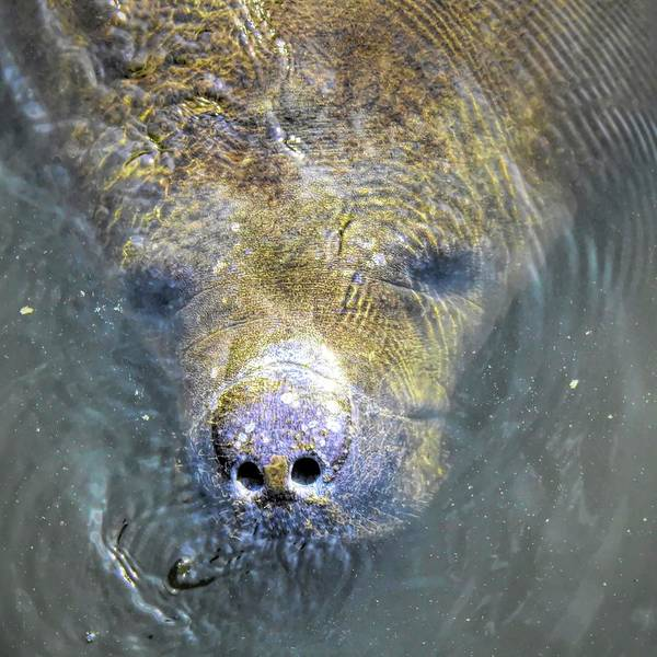 Photograph - Face Of The Manatee by Robert Stanhope