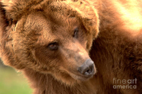 Photograph - Face Of The Mature Montana Grizzly by Adam Jewell