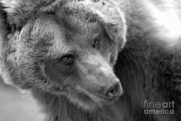Photograph - Face Of The Mature Montana Grizzly Black And White by Adam Jewell