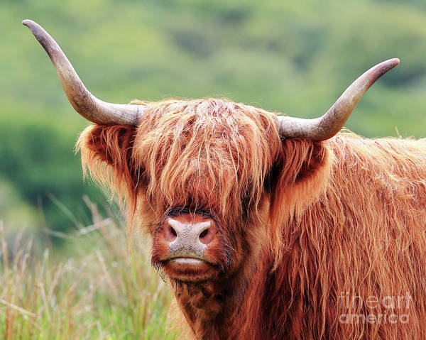 Photograph - Face-to-face With A Highland Cow by Maria Gaellman