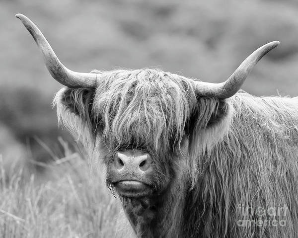 Photograph - Face-to-face With A Highland Cow - Monochrome by Maria Gaellman