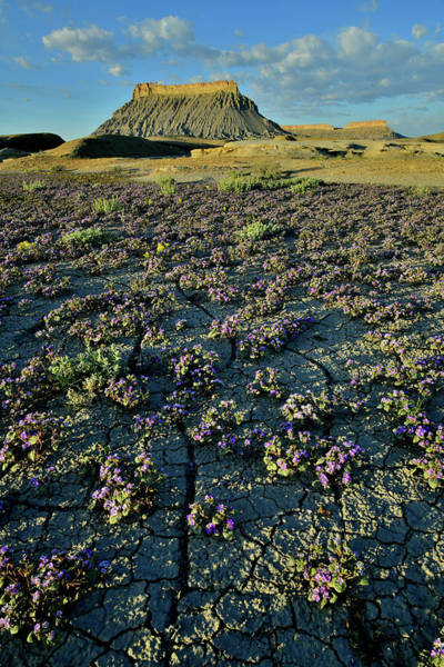 Photograph - Factory Butte Desert Wildflower Bloom by Ray Mathis