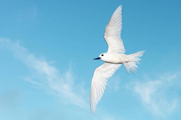 Wall Art - Photograph - Fairy Tern In Flight by James Warwick